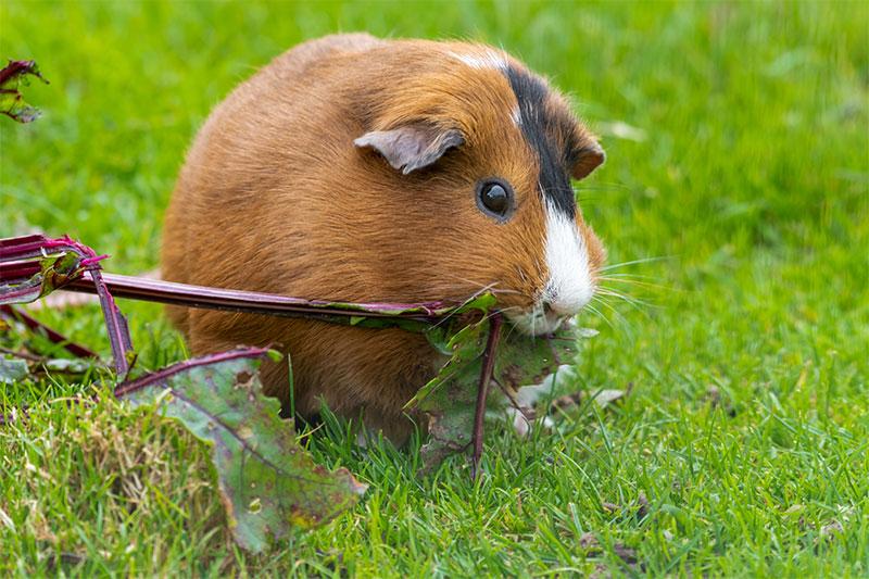 meerschweinchen gesund tierarzt